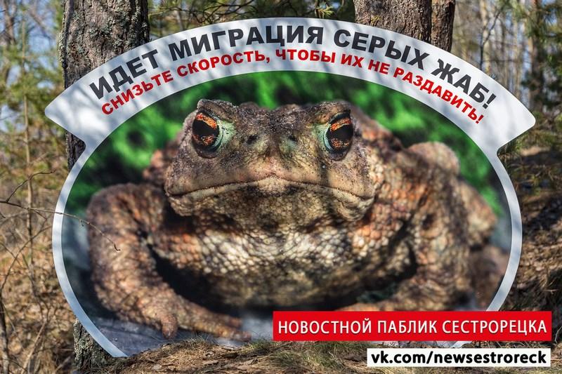 В заказнике «Сестрорецкое болото» готовятся к миграции серых жаб